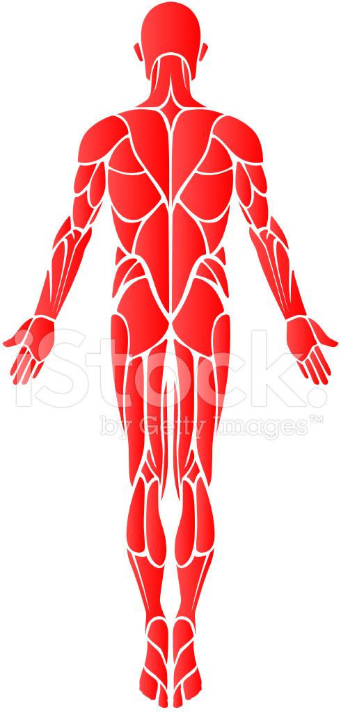 Músculos (parte Posterior) Stock Vector - FreeImages.com