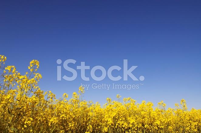 Olja Raps Stockfoton Freeimagescom