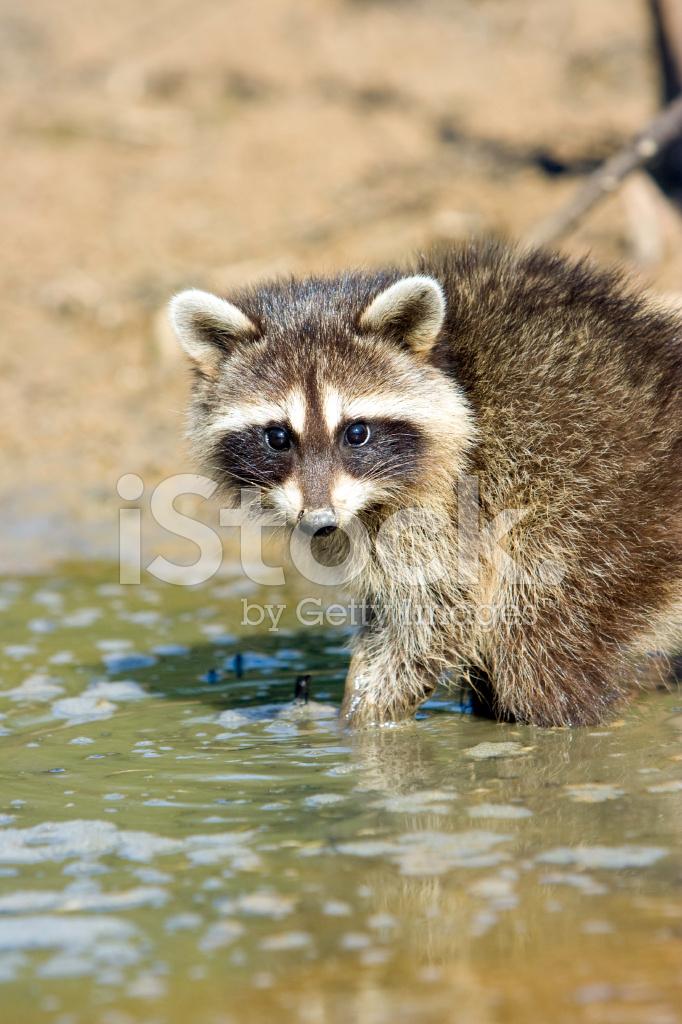 Young Raccoon Stock Photos - FreeImages.com