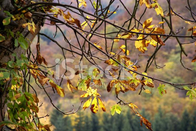 Kestane Sonbahar Boyama Yaprakları Stok Fotoğrafları Freeimagescom