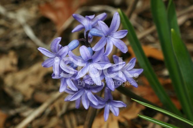 Blu fiori che sbocciano in primavera fotografie stock for Fiori che sbocciano