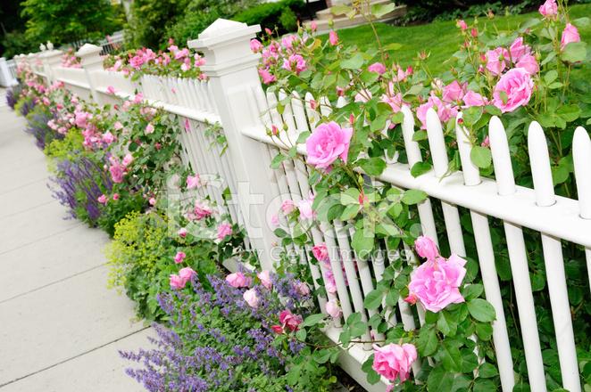 Staket staket rosor : Trädgård Staket Med Rosa Rosor stockfoton - FreeImages.com