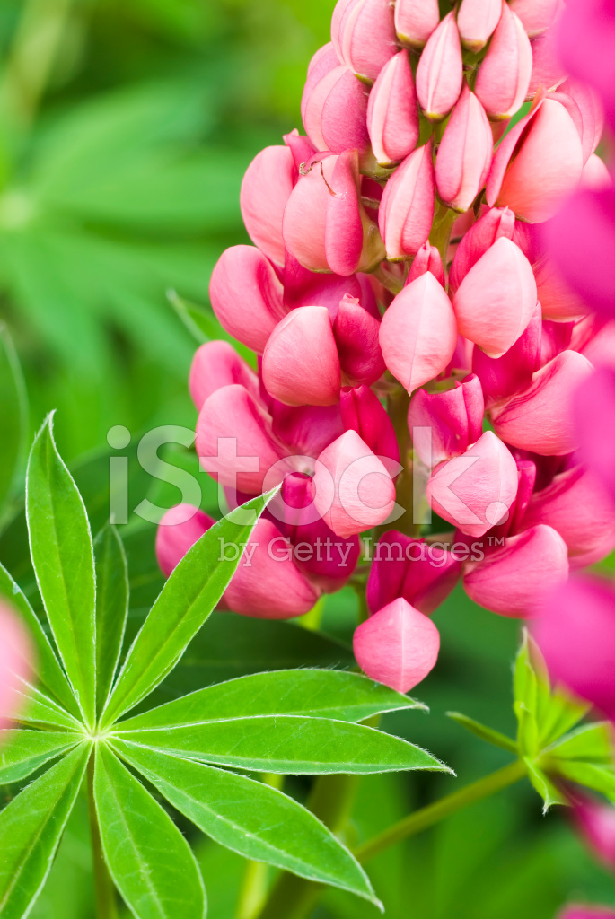 Gallery Red Ornamental Lupines V Stock Photos Freeimages Com