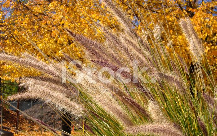 Cat Tail Plants Stock Photos Freeimagescom