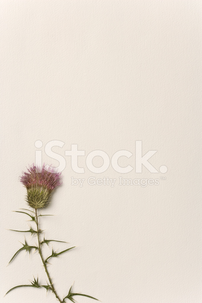 Fleurs Chardon Seche Sur Papier Plein Photos Freeimages Com