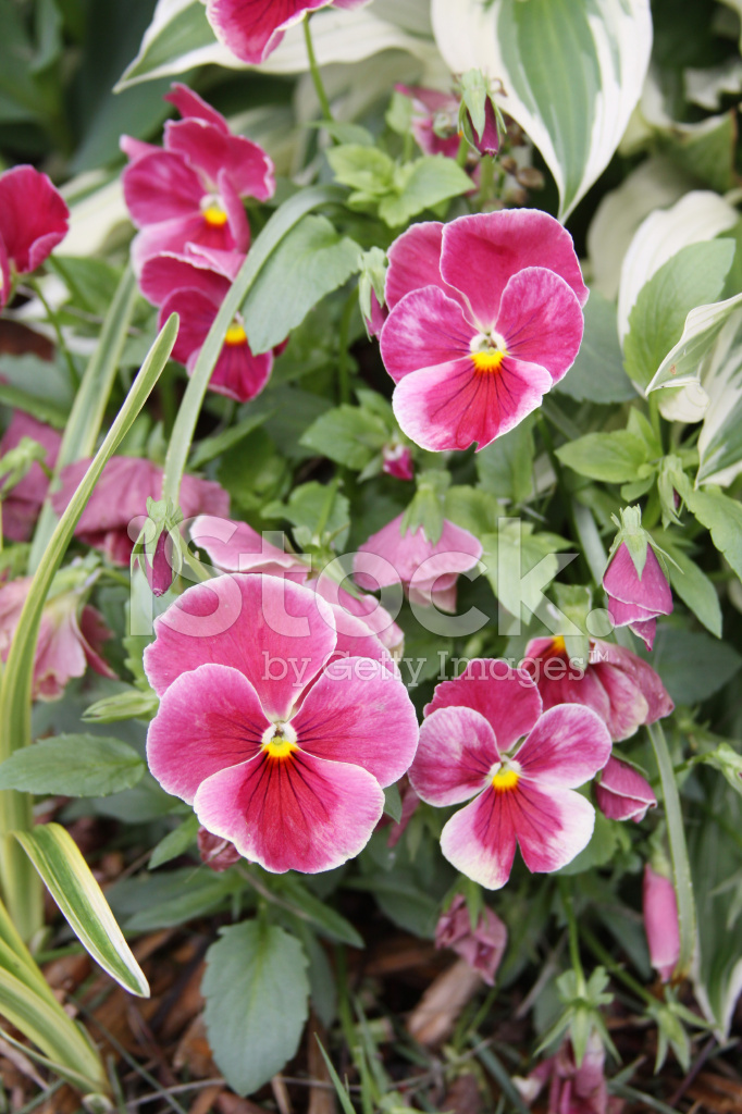 Pink pansy flowers stock photos freeimages pink pansy flowers mightylinksfo
