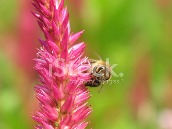 Bee on spiky pink flower stock photos freeimages bee on spiky pink flower mightylinksfo