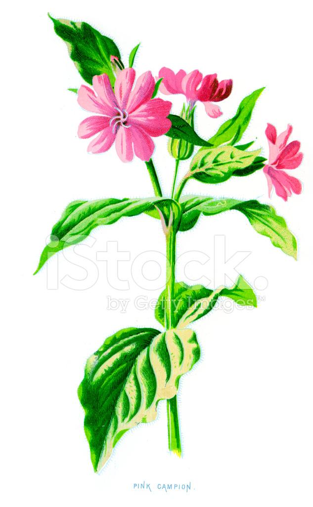 Pink campion lychnis diurna stock vector freeimages pink campion lychnis diurna mightylinksfo
