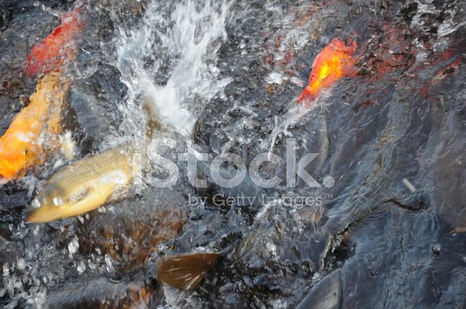 Fish feeding frenzy stock photos for Feeding frenzy fish