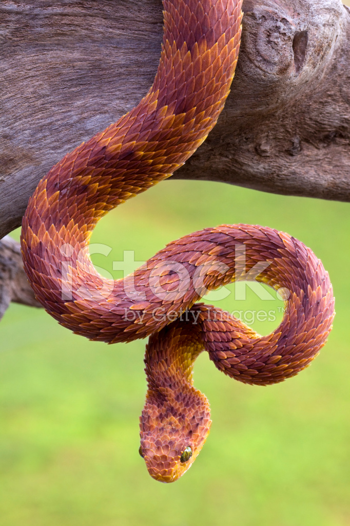 Very Rare African Bush Viper IN Red Phase Stock Photos