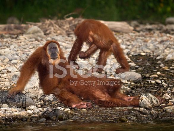 Orangutan sex