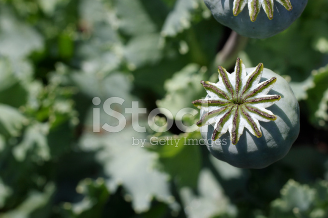 Opium Poppy Seed Pod On Waste Ground Stock Photos Freeimages Com