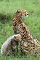 Cheetah,Cub,Mother,Kenya,Yo...