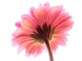 Flower,Single Flower,Transp...