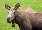 Moose,Female Animal,Alaska,...