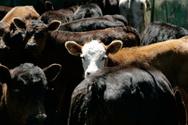 Herding,Cow,Cattle,Spectato...