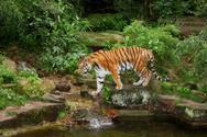 Bengal Tiger,Tiger,Wildlife...