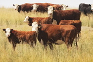 Beef Cattle,Cattle,Cow,Simm...