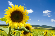 Sunflower,Field,Sun,Sky,Gra...