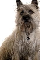 Terrier,Dog,Isolated,Waitin...