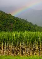 Sugar Cane,Field,Australia,...