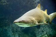 Shark,Sand,Aquarium,Sandbar...