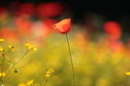 Poppy,Flower,Single Flower,...