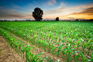 Corn - Crop,Corn,Field,Agri...