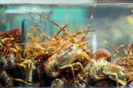 Lobster,Lobster,Storage Tan...