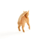Domestic Cat,Jumping,Kitten...