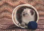 Domestic Cat,Pet Toy,Cute,O...