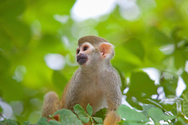 Amazon Rainforest,Monkey,Br...