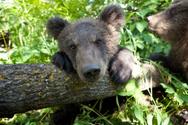 Cub,Bear Cub,Brown Bear,One...