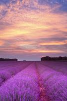 Lavender,Field,Provence-Alp...