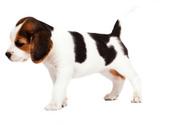 Beagle,Dog,Canine,Young Adu...