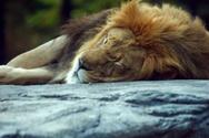 Sleeping,Lion - Feline,Anim...