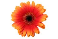Flower,Outline,Gerbera Dais...