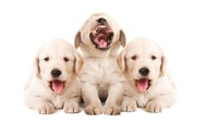 Dog,Happiness,Cheerful,Pupp...