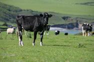 Cow,Sheep,Wales,Rural Scene...
