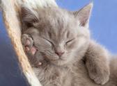 Sleeping,Domestic Cat,Undom...