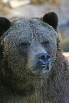 Brown Bear,Bear,Alaska,Furi...