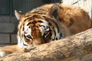 Tiger,Bengal Tiger,Paw,Zoo,...