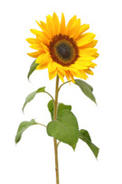 Sunflower,Flower,Single Flo...