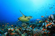 Turtle,Reef,Fish,Sea,Underw...