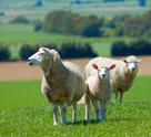 Sheep,New Zealand,Lamb,Farm...