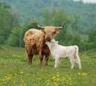 Calf,Cow,Highland Cattle,Yo...