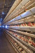 Chicken - Bird,Farm,Poultry...