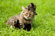 Mother,Domestic Cat,Kitten,...