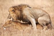 Lion - Feline,Sex - Single ...