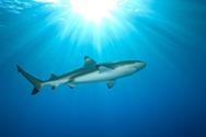 Shark,Black Color,Underwate...
